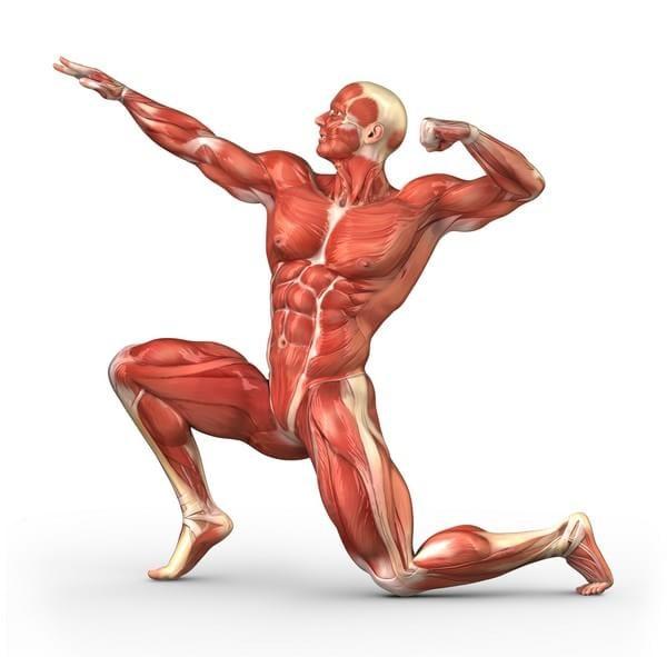 O Músculo Estriado Esquelético Propriedades Função E